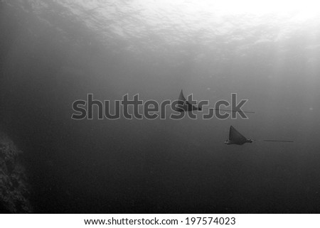A pair of Eaglerays glide in the open ocean, Grand Cayman, Cayman Islands - stock photo