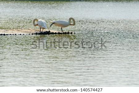 A pair of estrangement Swan - stock photo