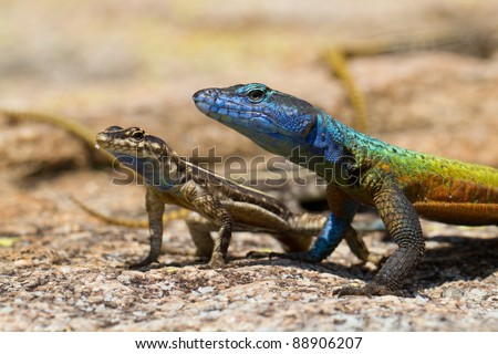 A pair of flat lizards, a male and female, in Matobo National Park, Zimbabwe - stock photo