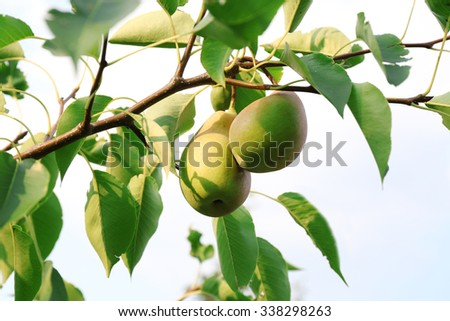 A pair of fresh ripe pears in the garden tree - stock photo