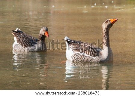 A pair of geese swimming in a pond - stock photo
