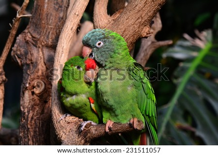 A pair of green parrots snuggle up close to each other showing affection. - stock photo