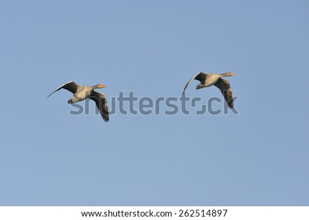 A pair of greylag geese in the air. - stock photo