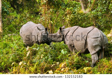 A pair of Indian one horned rhinoceros play fighting in Jaldapara Wildlife Sanctuary. - stock photo