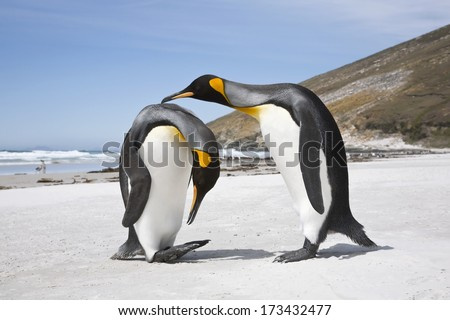 A pair of King penguin courtship display on a south atlantic beach - stock photo