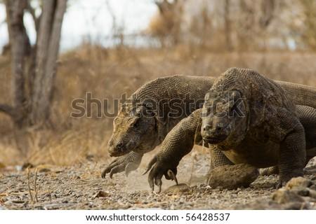 A pair of Komodo dragons run surprisingly fast towards prey on Komodo island. - stock photo