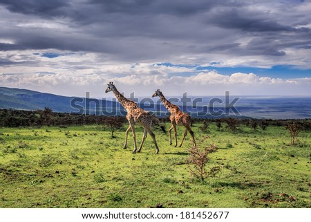 A pair of large Masai Giraffes cross the savanna. Serengeti National Park, Tanzania - stock photo