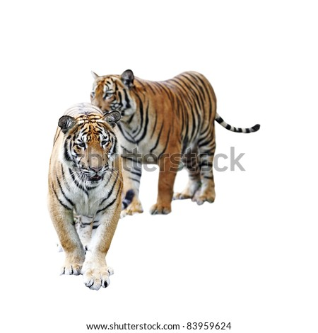 A pair of Malayan Tiger isolated against white. This tiger is scientifically known as Panthera Tigris Jacksoni. - stock photo