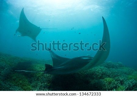 A pair of manta rays (Manta alfredi) cruise slowly over a shallow cleaning station in Yap, Micronesia.  Mantas often come to cleaning stations to have small fish remove parasites. - stock photo