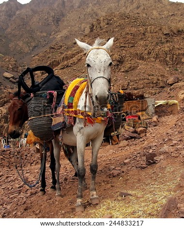 A pair of moroccan donkeys resting with their carriage on the adventurous journey in rocky   desert mountainsportrait eye contact  - stock photo