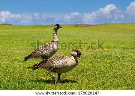 A pair of Nene gooses, The Hawaii's State Bird - stock photo