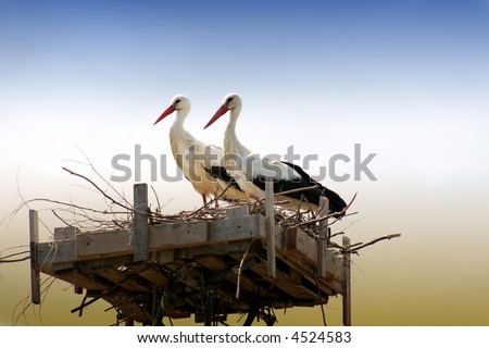 a pair of nesting storks - stock photo