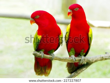 A pair of red parrot with green wings / A pair of red parrot with green wings in Kuala Lumpur Bird Park - stock photo