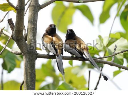 A pair of Rufous Treepie  - stock photo