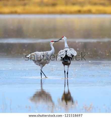 A Pair of Sandhill Cranes at Bosque del Apache National Wildlife Reserve in New Mexico USA. - stock photo
