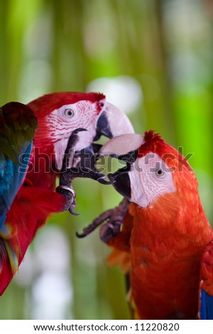 a pair of scarlet macaws - stock photo