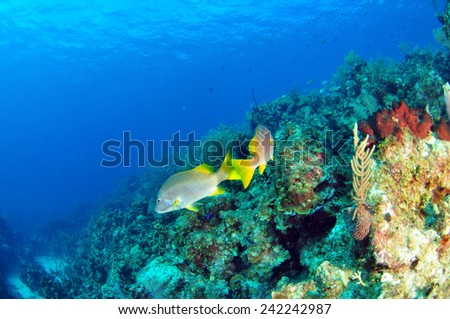 A pair of school masters swimming over the reef, Grand Cayman - stock photo
