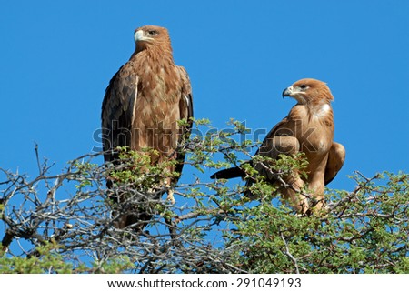 A pair of tawny eagles (Aquila rapax) perched on top of a tree, South Africa - stock photo