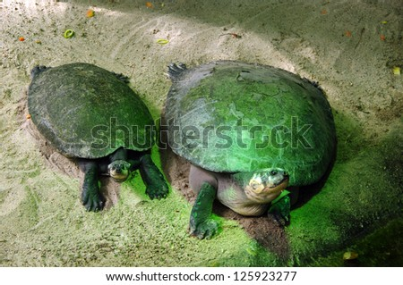 A pair of turtles on sand - stock photo