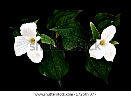 A pair of white Trilliums on a black background. Low key, with high contrast processing. Trillium grandiflorum is the official emblem of the Province of Ontario and the State Wildflower of Ohio.  - stock photo