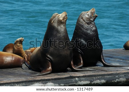 """A pair of wild California Sea Lions and their pups """"sing"""" together on a floating dock in the Pacific. - stock photo"""