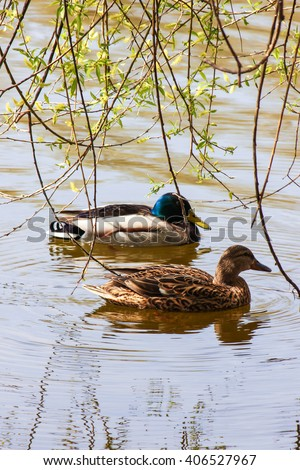 a pair of wild ducks on the pond - stock photo