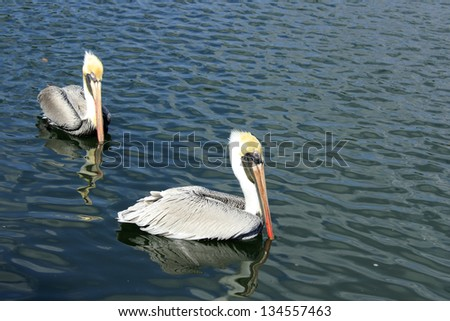 A pair of wild gray, white and yellow feather pelicans with orange red beaks wading on lake water on a sunny winter day in Florida. - stock photo