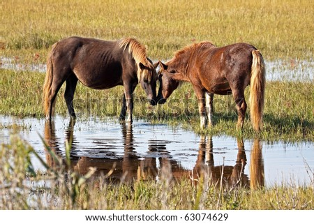 A pair of wild horses touching noses - stock photo