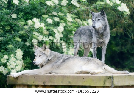 A pair of wolves looking alert and dangerous - stock photo
