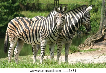 A pair of Zebras in the Taiping Zoo - stock photo