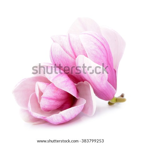 a pair  pink magnolia flower  on white background  - stock photo