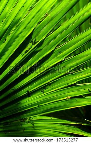 A palm leaf texture - stock photo