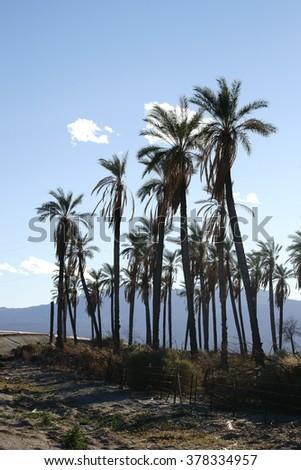 A palm plantation in California near the Salton Sea / High palm trees      - stock photo