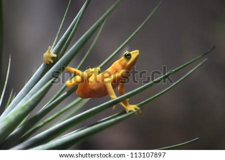 A Panamanian Golden Frog Striking An Interesting Pose, Atelopus zeteki, The All Yellow Variety - stock photo
