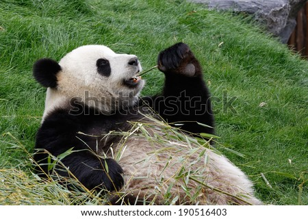A panda bear on his back and eating bamboo - stock photo