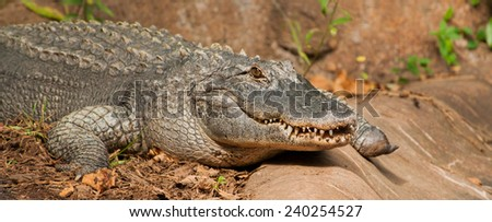A panoramic image of an alligator crawling on the ground in a North Carolina zoo - stock photo
