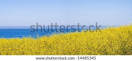 A panoramic view of mustard plants flowering along the Pacific coastline. - stock photo