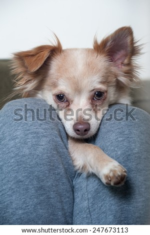 A Papillon-Chihuahua mix puppy looks into the camera from between the legs of its owner in a closeup shot of the dog's face - stock photo