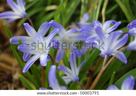A patch of purple Star of David flowers in the morning before fully opened - Shallow depth of focus - stock photo