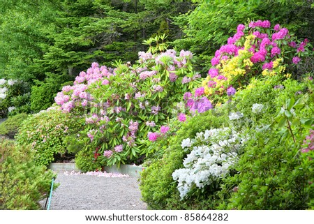 A path goes through a group of blooming rhododendrons and azaleas in the spring garden. - stock photo