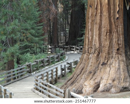 A path through the huge sequoia trees in  the Sequoia National Park. - stock photo
