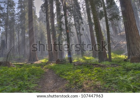 A path through the Sequoias at Sequoia National Park. - stock photo