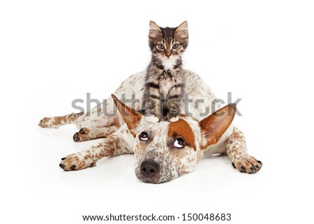 A patient Queensland Heeler mixed breed dog laying against a white backdrop and rolling his eyes up at a little kitten sitting on his head - stock photo