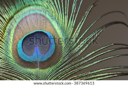 a peacock feather - stock photo