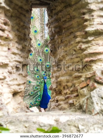 A peacock showing off its huge plumage in the Sao Jorge castle, Lisbon - stock photo