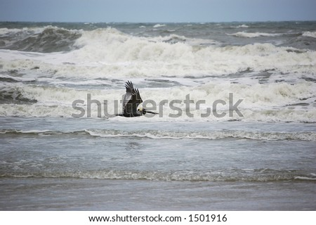 A pelican glides over the surf at Ponce Inlet Beach, Florida - stock photo