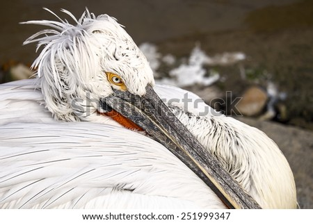A pelican rests its long beak to rest as it stares at the scenery through one eye. - stock photo