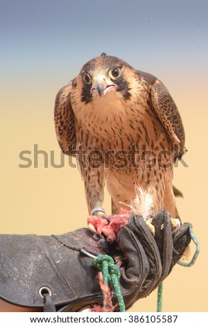 A peregrine falcon eating the quail it just caught in flight, Bedouin settlement, Dubai Desert Conservation Reserve, UAE - stock photo