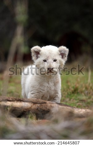 A perfect portrait of a tiny young white lion cub. - stock photo