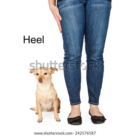 A person giving a hand signal to a little Chihuahua mixed breed dog for the command of heel. - stock photo